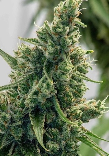 Image of Blue Widow cannabis strain in flowering stage