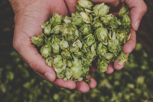 Cannabis terpene humulene is found in hops