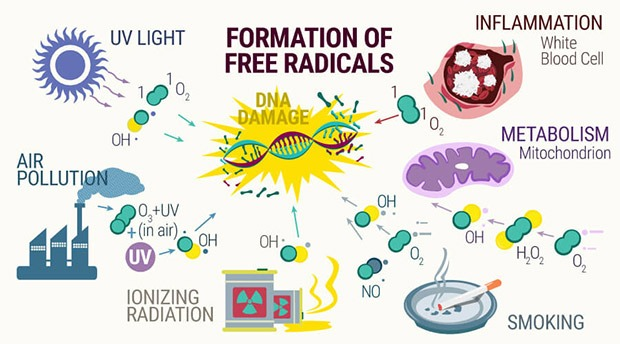 All the sources for free radicals and how CBD oil can help prevent damage to cells at coffeeshop guru