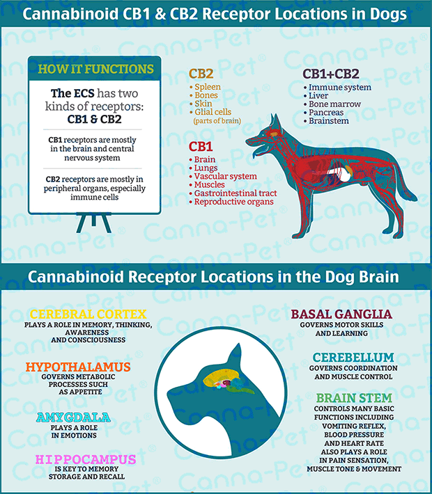 an infographic about the endocannabinoid system in dogs for Coffeeshop Guru
