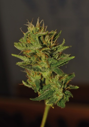 Bud of Tangerine dream ready to be harvested