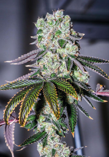 Wedding cake seeds strain from girl scout cookies strain from the usa