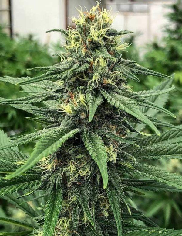 ACDC marijuana strain growing outdoors from Guru Seeds
