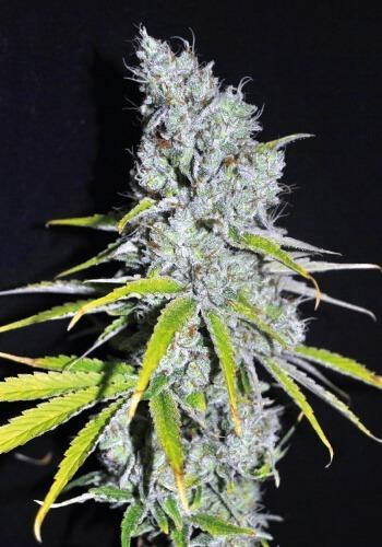 CBD Skunk Haze marijuana strain growing outdoors