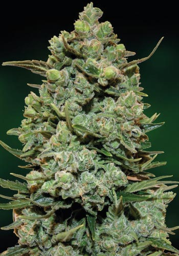 A large bud from Barney's Farm Cookies Kush cannabis strainCookie kush from barneys farm with fat calyxes