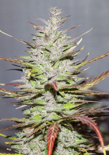 Dawg Star cannabis strain bred by T.H. Seeds