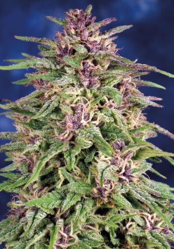 Frisian Dew marijuana plant developed by seedbank Dutch Passion Seeds