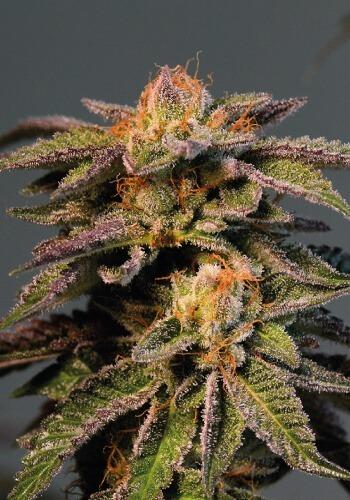 LA Confidential marijuana strain grown from seed