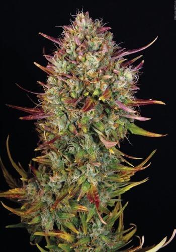 MK Ulta marijuana strain from autoflowering seeds