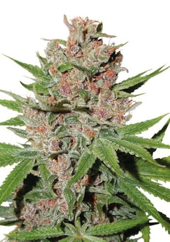 Passion Fruit cannabis strain from Dutch Passion