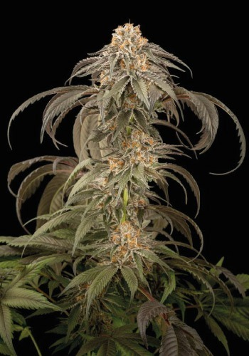 Purple Afghan Kush marijuana strain growing outdoors