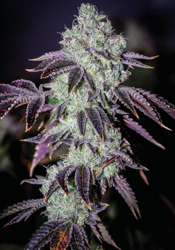 Purple punch seeds strain is a crossing between larry og and grand daddy purple