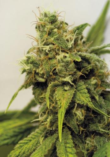 The Utopia haze seeds strain from barneys farm
