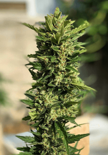 White Widow Strain grown from Feminized seeds