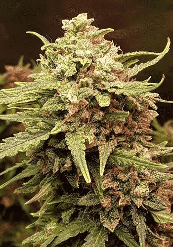 Image of Skunky Monkey Auto autoflowering marijuana strain