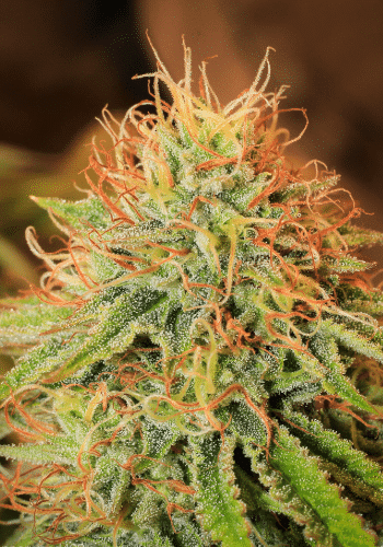 Image of Tangerine Blue Dream high THC cannabis strain