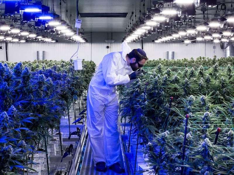 Chief Exectutive of Harmony cannabis dispensary, Shaya Brodchandel, checks marijuana plants in New Jersey growing operation.