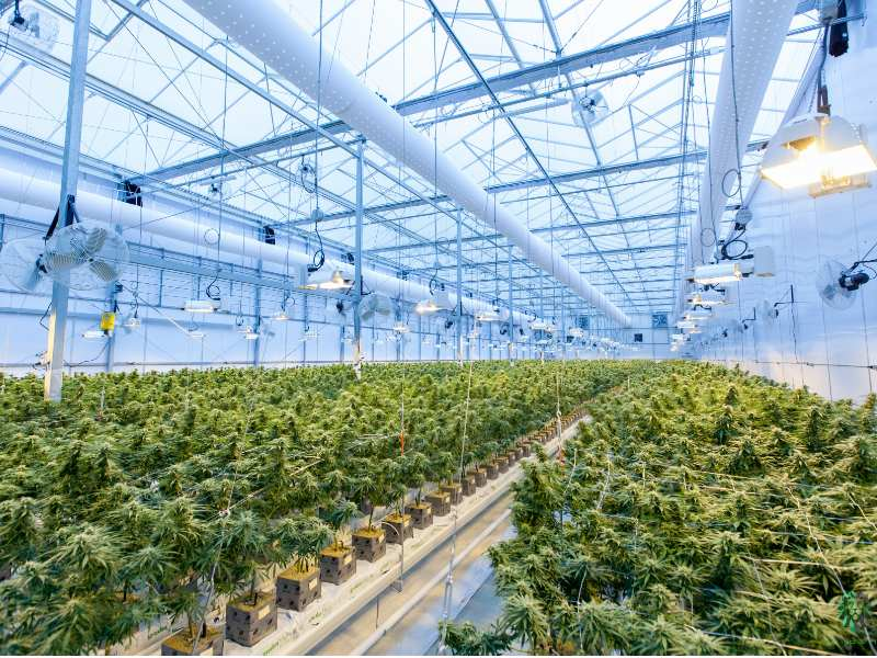 Large scale cannabis growing operation USA