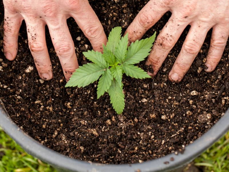 Autoflower marijuana seeds planted in the final pot for higher yields