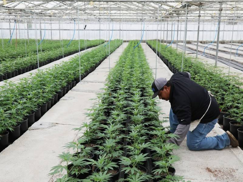 Man tends marijuana seedlings in California growing operation