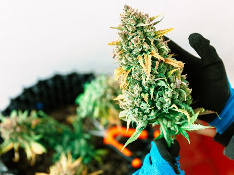 In Maine cannabis seeds can be used to cultivate six flowering cannabis plants per resident