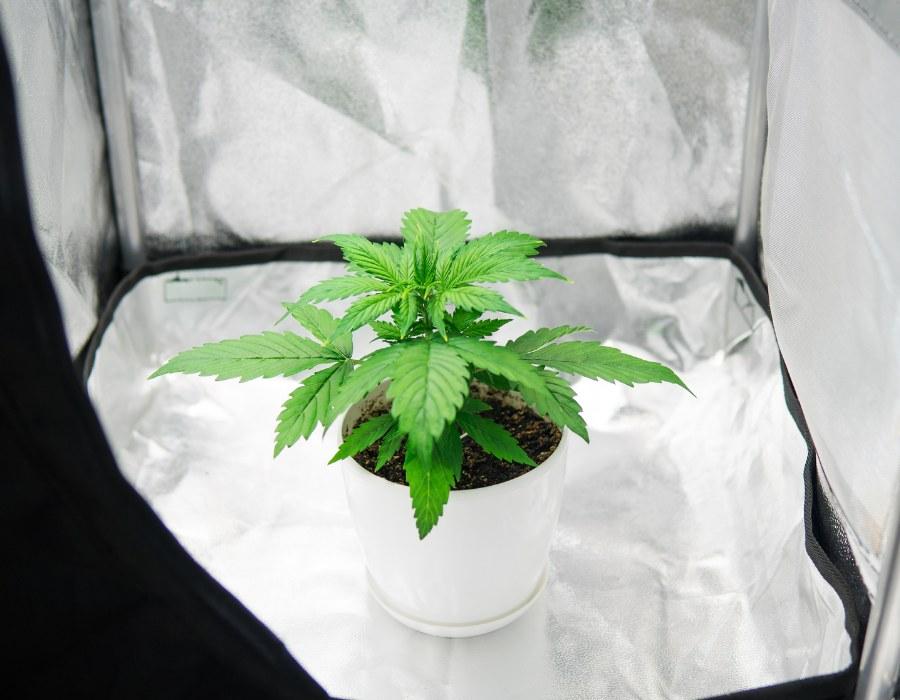Autoflower cannabis strain prepared for best nutrients