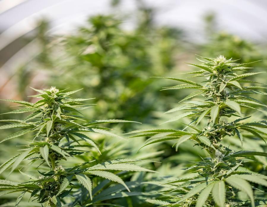 Autoflowers cannabis strains compared to photoperiod marijuana strains