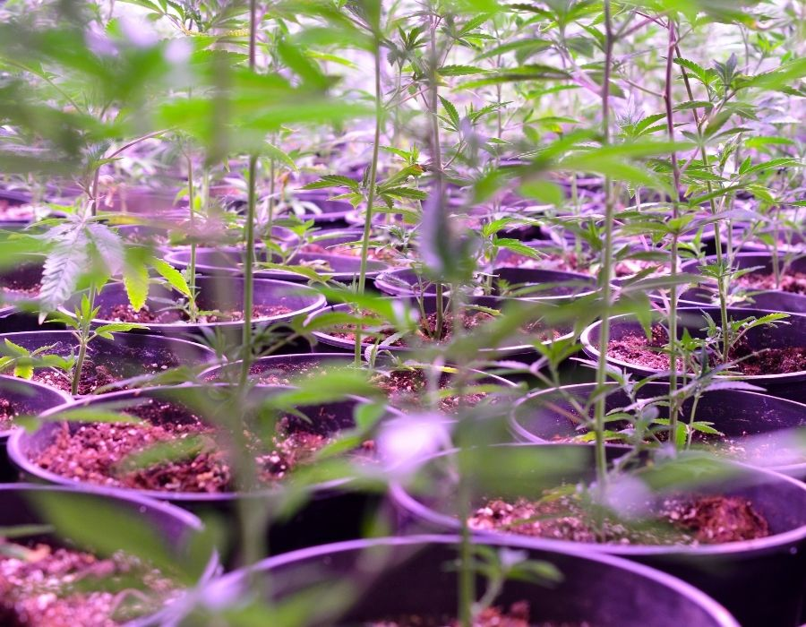 Growing cannabis clones successfully depends on a variety of factors.