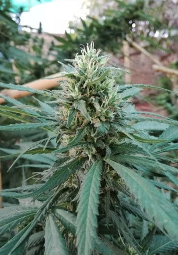 La Quinceanera marijuana strain flowering outdoors with large bud. Grown from La Quinceanera seeds by Cannarado Genetics