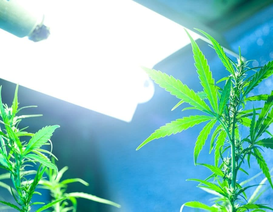 A cannabis strain switched to a 12-12 light cycle