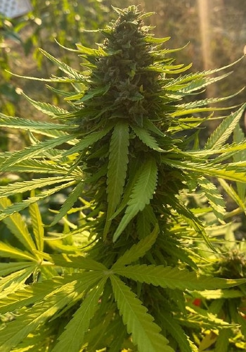 SSOG marijuana plant by flowering with large tall bud. Outdoor grown from SSOG seeds by Crockett's Family Farm