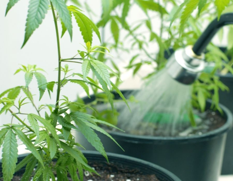 How and when to flush marijuana plant for smooth buds