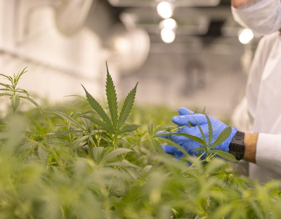 Enzymes Create a Balanced Atmosphere for Cannabis Plants to Thrive