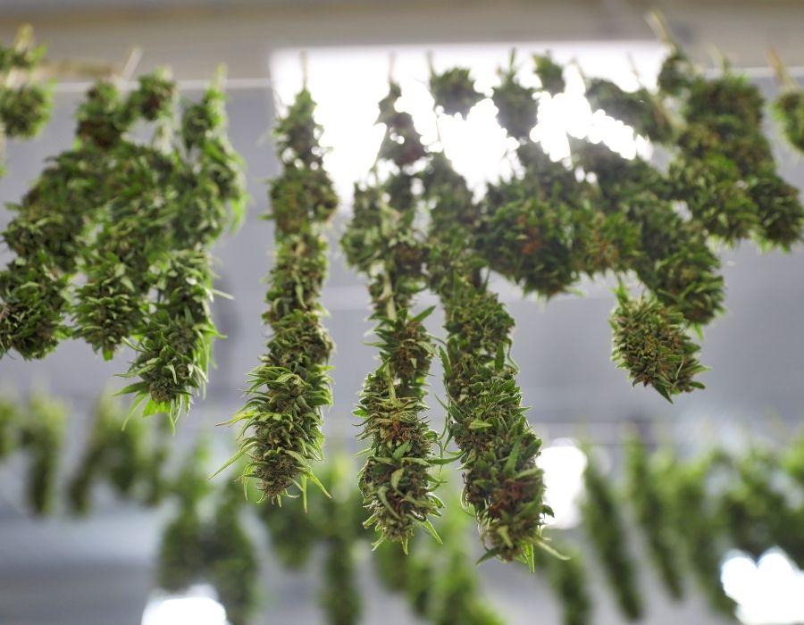 Cannabis plants drying indoors