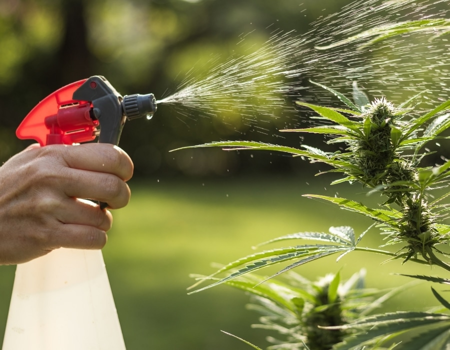 Cannabis plant is sprayed with insecticidal soap to target pests