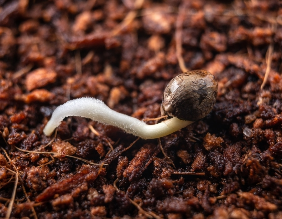 A germinated cannabis seeds sitting on soil