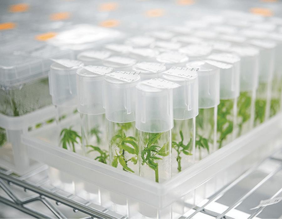 Cannabis cutting in test tubes known as cannabis tissue culture method