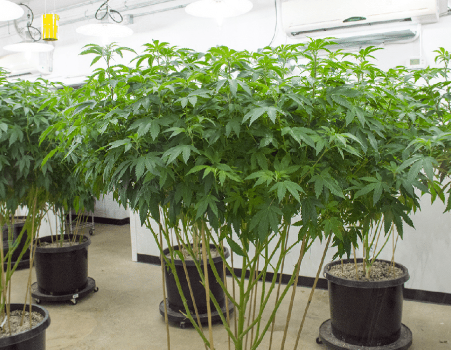 Monster cropping techique used on cannabis plants