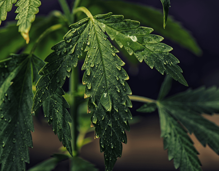 Vapor pressure deficit impacting cannabis plant