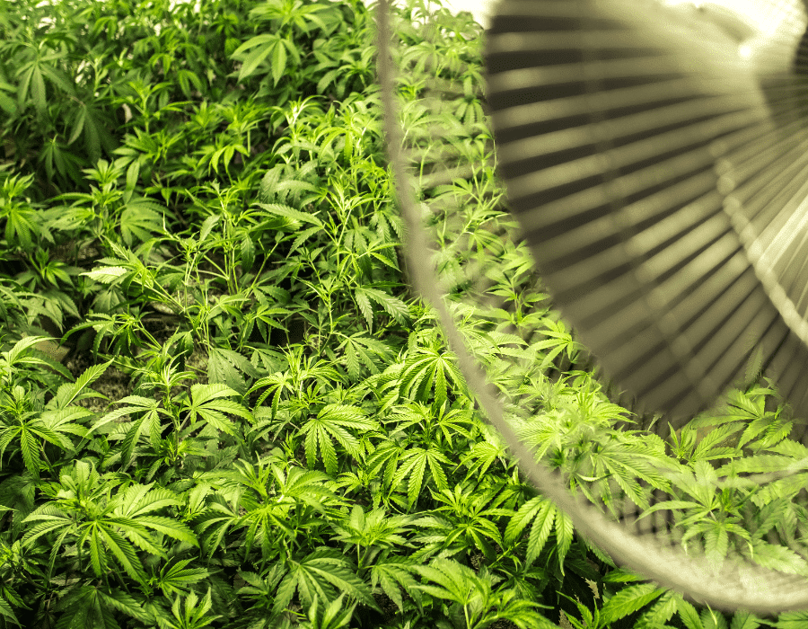 Fan provides growth promoting airflow for cannabis plants