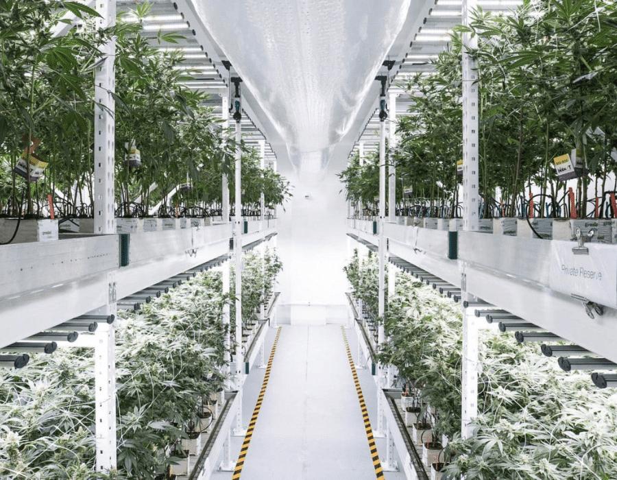 Cannabis grown in vertical farm set up.